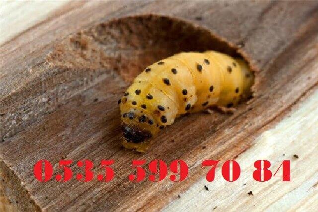 tahta kurdu böcek ilaçlama